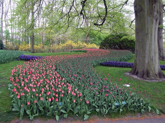 Keukenhof: una serpentina di tulipani