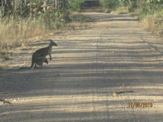 Crab Claw Island Resort: wildlife on the road