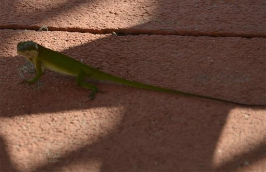 Quality Inn & Suites Pensacola Bayview: The local wildlife at the pool  in the form of a green lizard.