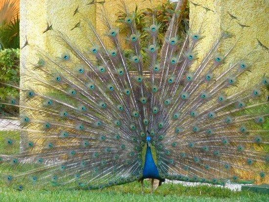 Iberostar Quetzal Playacar: lots of peacocks