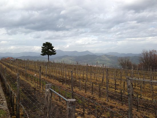 Sicily Blues Tours - Day Tours: View of Gambino Vineyard on Mt. Etna.