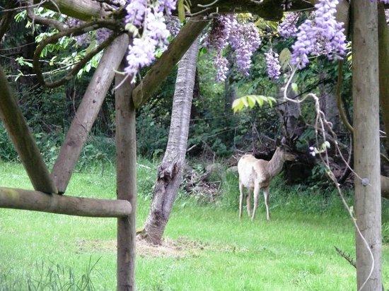 Green Acres Lakeside Resort Salt Spring Island: Deer feeding nearby