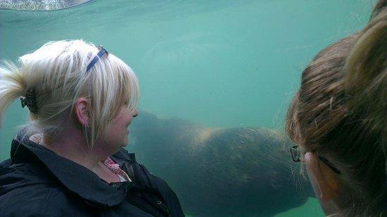 Cornish Seal Sanctuary: underwater sealion viewing