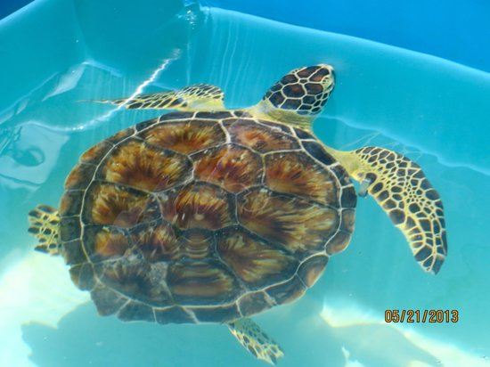 The Turtle Hospital: One of the residents
