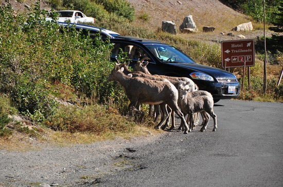 Many Glacier Hotel: Bighorn sheep family in the parking lot