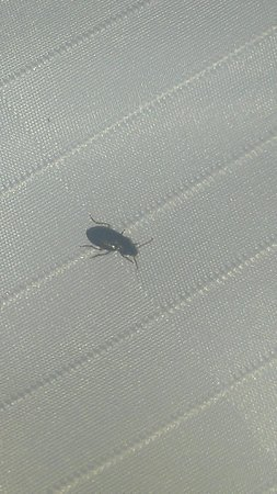 Days Inn Altus: Close up of one of the bugs that came out of the sheets.