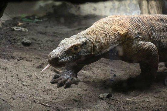 Woodland Park Zoo: komodo dragon