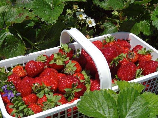 Bottom View Farm: Strawberry Picking - May 25, 2013
