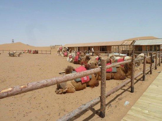Shapotou Tourist Zone: Camels, Shapotou, Zhongwei, Ningxia