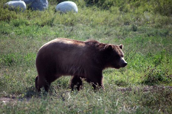 ZooMontana: Grizzly