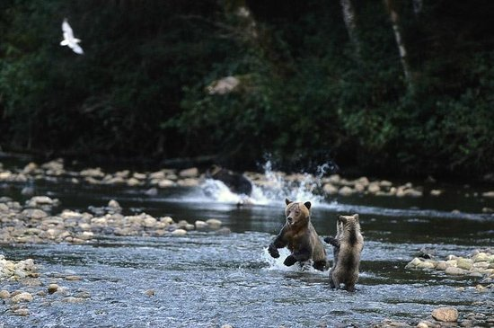 Great Bear Lodge- bears fishing for salmon