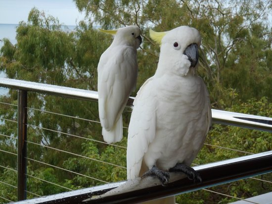 Qualia Resort: Cockatoos