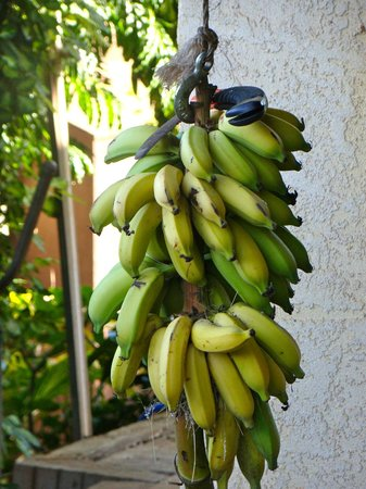 Hale Huanani Bed and Breakfast: Bananas from the garden, ready for picking.