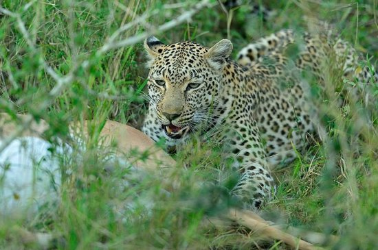 Simbambili Game Lodge : Leopard on a kill