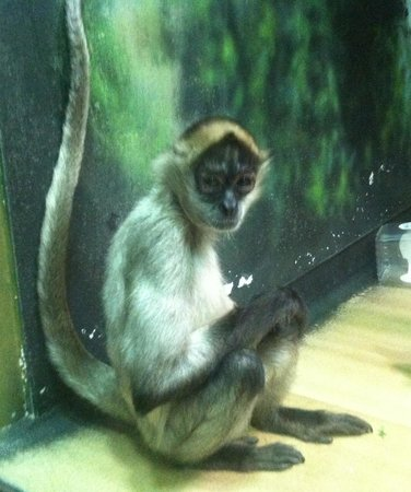 Racine, WI: Spider Monkey