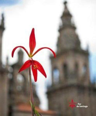 La Flor de Santiago frente a la catedral de Santiago de Compostela.