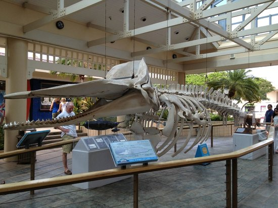 Whalers Village Museum: Sperm whale skeleton on display at the Village