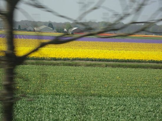 Keukenhof: Campos de tulipas