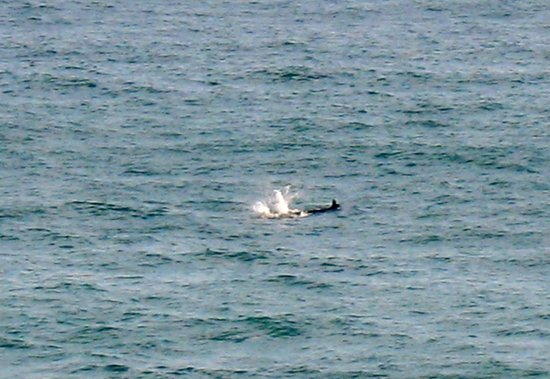 South Carlsbad State Beach: Dolphins from the campsite