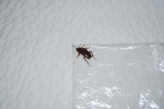 SpringHill Suites Savannah Airport: Cockroach that was in our room.