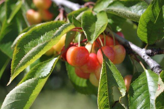 Agriturismo La Stadira : ciliegie