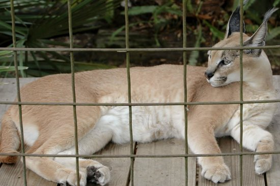 Big Cat Rescue: Time for a knapp i think