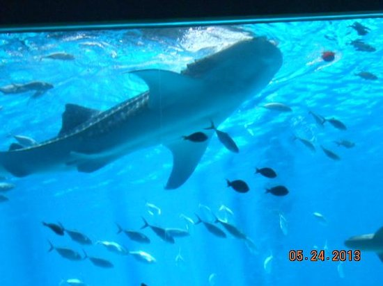 The Whale Shark Swims Overhead In The Tunnel Picture Of