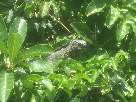 MiraMar Yelapa: An Iguana outside the bathroom window I seen one morning