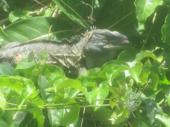 MiraMar Yelapa: Mr. Iguana enjoying his breakfast
