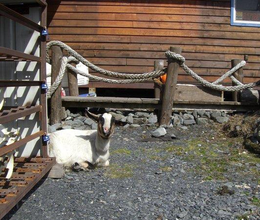 Miller's Landing: Goat ~ Kenai