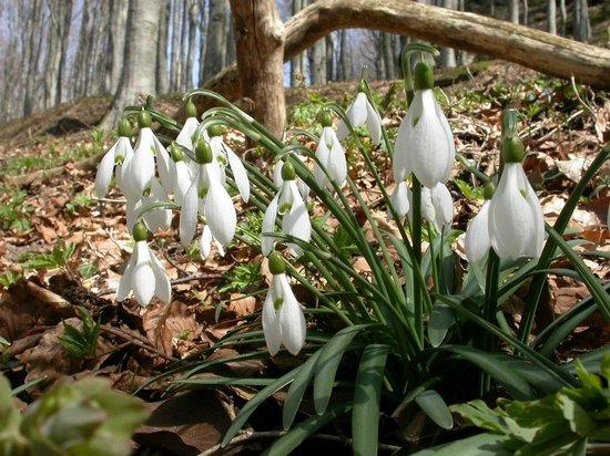 Parco Nazionale delle Foreste Casentinesi, Monte Falterona e Campigna: Bucaneve - Galanthus nivalis (N. Agostini)