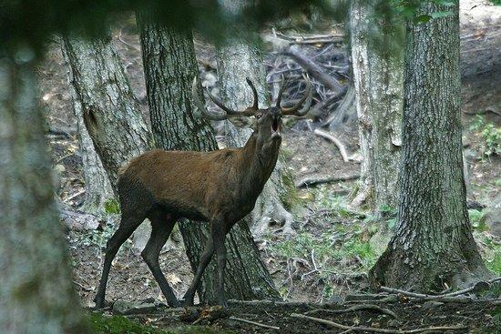 Parco Nazionale delle Foreste Casentinesi, Monte Falterona e Campigna: Cervo maschio (G. Giacomini)