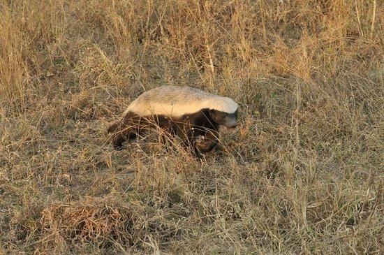 Inyati Game Lodge, Sabi Sand Reserve: Honey badger