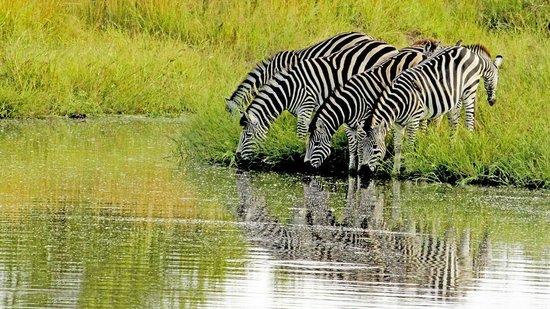 Inyati Game Lodge, Sabi Sand Reserve: Zebra crossing