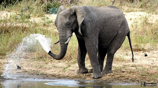 Inyati Game Lodge, Sabi Sand Reserve: Elephant