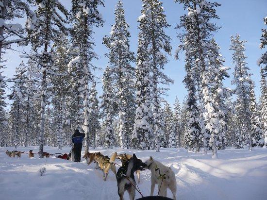 Arctic Husky Farm: Husky sledding