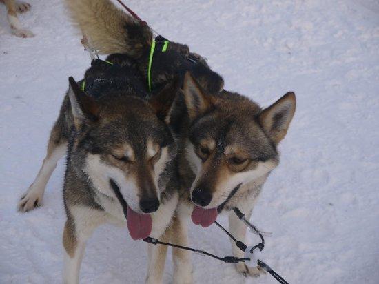 Arctic Husky Farm: The huskies