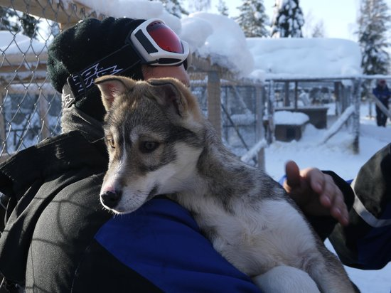 Arctic Husky Farm: 5 month old puppy