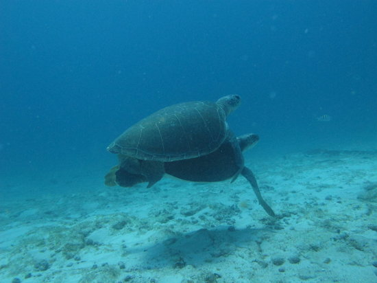 Carey Dive Center: Turtles at the South Point