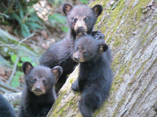 Bear cubs on Laurel Falls trail
