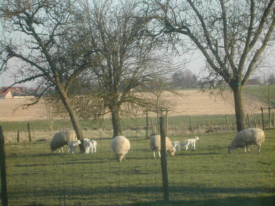 De Bosgeus: Our sheep
