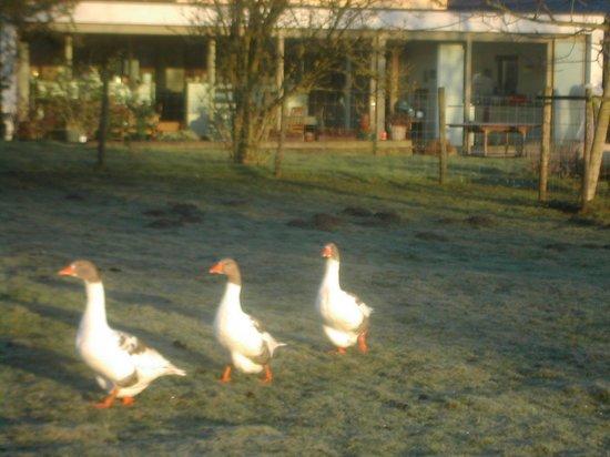 De Bosgeus: Our geese