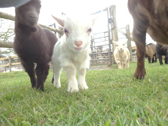 Baby Pygmy Goat - Picture of Small Breeds Farm Park and Owl