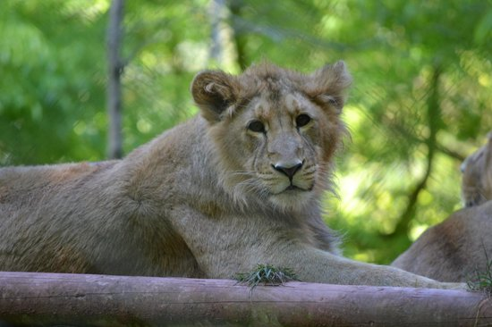The Clifton At Paignton: Lioness at Paignton Zoo