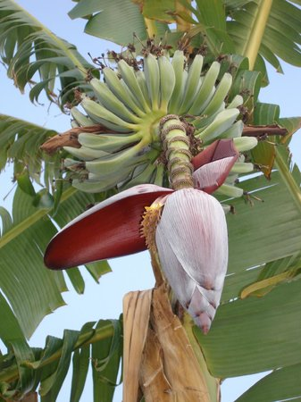 Grecian Park Hotel : Outside, a beautiful banana blossom