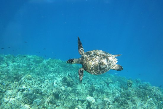 Veligandu Island Resort & Spa: Saw a turtle snorkeling from the jetty