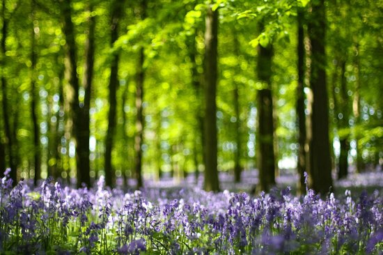 Berkhamsted, UK: Bluebells in Dockey Wood