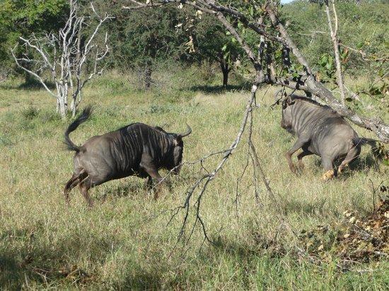 Nyala Safari Lodge: bulls' fight
