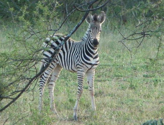 Nyala Safari Lodge: zebra