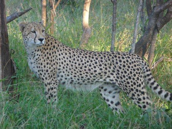 Nyala Safari Lodge: cheeta